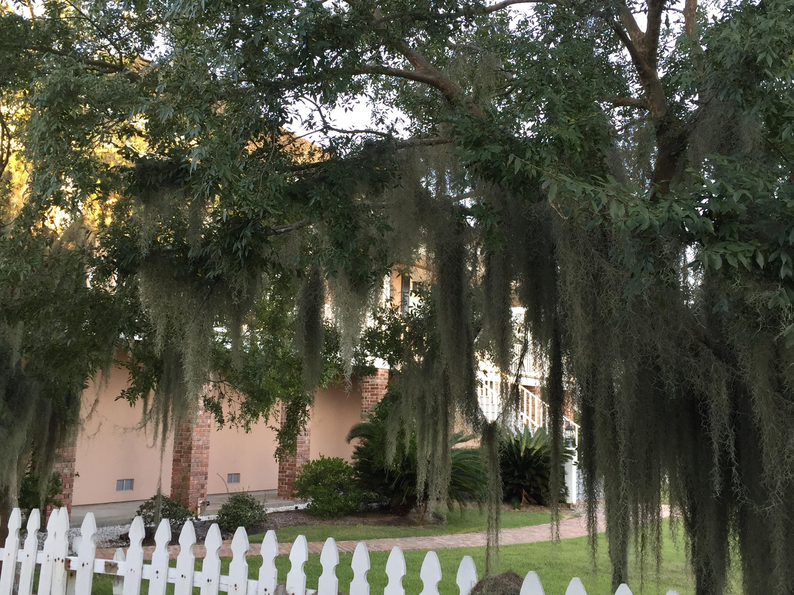 The moss of Louisiana